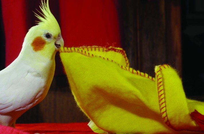 2000_Animals_CockatielA